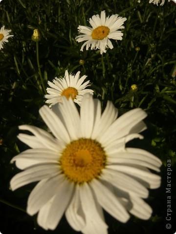 Приглашаю вас прогуляться по моему участку. в своем доме мы живем только 6 лет, до этого всю жизнь прожила в квартире. Очень люблю лилии, поэтому и свой цветник начала создавать с посадки именно этих цветов. фото 21