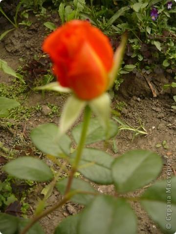 Приглашаю вас прогуляться по моему участку. в своем доме мы живем только 6 лет, до этого всю жизнь прожила в квартире. Очень люблю лилии, поэтому и свой цветник начала создавать с посадки именно этих цветов. фото 22