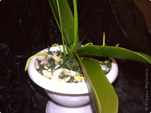 Ну вот теперь и у меня есть своя орхидейка фото 5