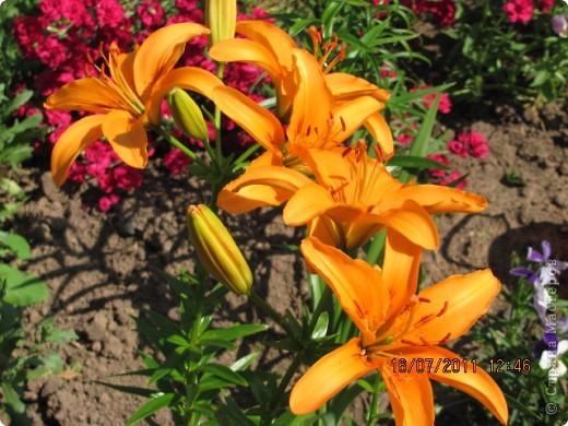 Стали отцветать постепенно лилии фото 4