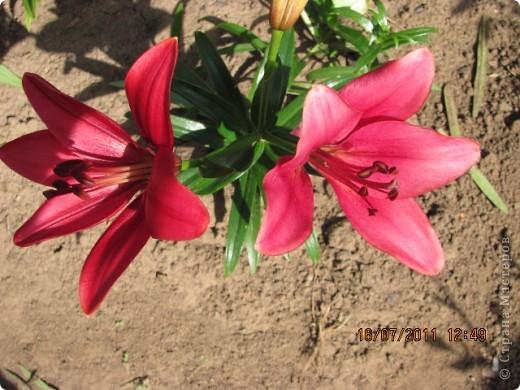 Стали отцветать постепенно лилии фото 6