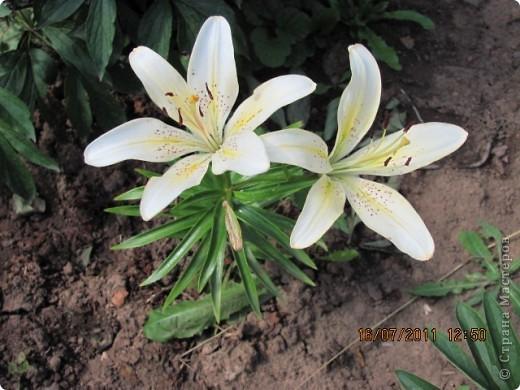 Стали отцветать постепенно лилии фото 7