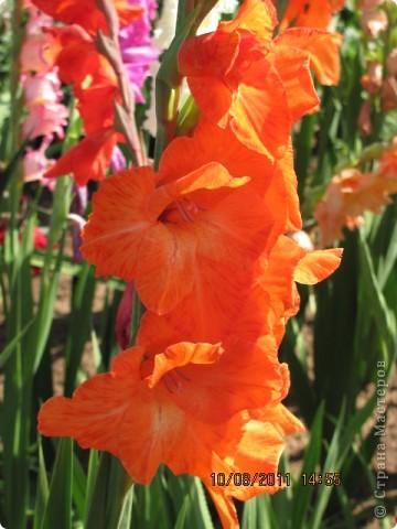 Стали отцветать постепенно лилии фото 17