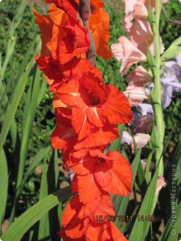 Стали отцветать постепенно лилии фото 19