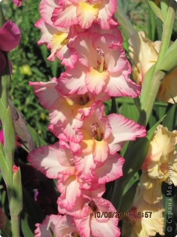 Стали отцветать постепенно лилии фото 23