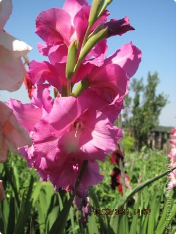 Стали отцветать постепенно лилии фото 24