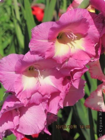 Стали отцветать постепенно лилии фото 25