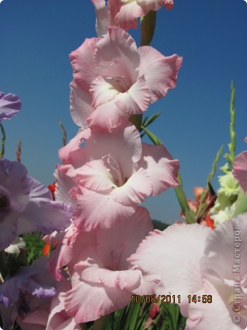 Стали отцветать постепенно лилии фото 27