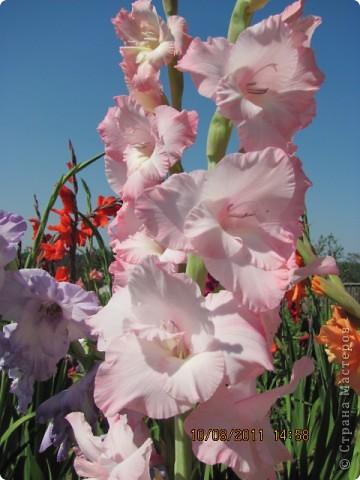 Стали отцветать постепенно лилии фото 28