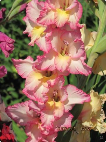 Стали отцветать постепенно лилии фото 29