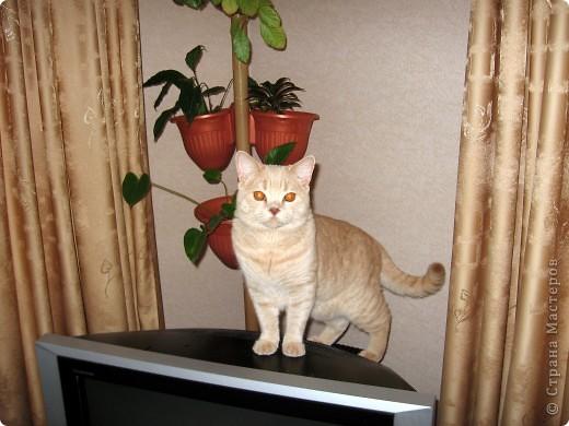 """Давайте знакомиться!Меня зовут Персей, ну или попросту """"по-кошачьи"""" - Персик.Говорят, что я британец, а я тссс (это секрет) подозреваю, что человек.Мне скоро будет два годика.Давайте дружить. фото 21"""