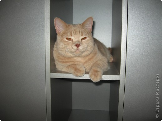 """Давайте знакомиться!Меня зовут Персей, ну или попросту """"по-кошачьи"""" - Персик.Говорят, что я британец, а я тссс (это секрет) подозреваю, что человек.Мне скоро будет два годика.Давайте дружить. фото 10"""
