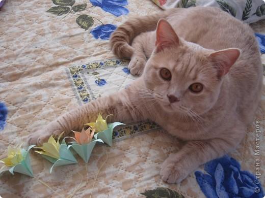 """Давайте знакомиться!Меня зовут Персей, ну или попросту """"по-кошачьи"""" - Персик.Говорят, что я британец, а я тссс (это секрет) подозреваю, что человек.Мне скоро будет два годика.Давайте дружить. фото 4"""