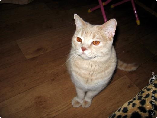 """Давайте знакомиться!Меня зовут Персей, ну или попросту """"по-кошачьи"""" - Персик.Говорят, что я британец, а я тссс (это секрет) подозреваю, что человек.Мне скоро будет два годика.Давайте дружить. фото 12"""