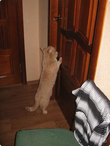 """Давайте знакомиться!Меня зовут Персей, ну или попросту """"по-кошачьи"""" - Персик.Говорят, что я британец, а я тссс (это секрет) подозреваю, что человек.Мне скоро будет два годика.Давайте дружить. фото 8"""