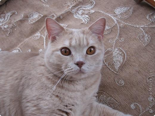"""Давайте знакомиться!Меня зовут Персей, ну или попросту """"по-кошачьи"""" - Персик.Говорят, что я британец, а я тссс (это секрет) подозреваю, что человек.Мне скоро будет два годика.Давайте дружить. фото 17"""
