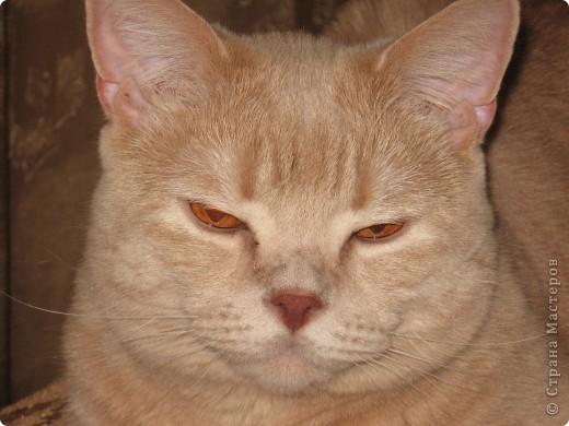 """Давайте знакомиться!Меня зовут Персей, ну или попросту """"по-кошачьи"""" - Персик.Говорят, что я британец, а я тссс (это секрет) подозреваю, что человек.Мне скоро будет два годика.Давайте дружить. фото 16"""