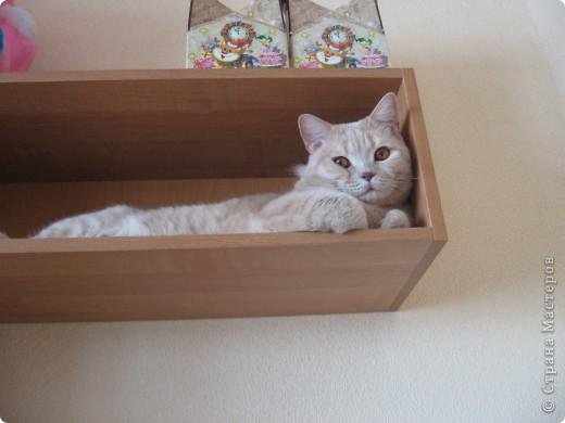 """Давайте знакомиться!Меня зовут Персей, ну или попросту """"по-кошачьи"""" - Персик.Говорят, что я британец, а я тссс (это секрет) подозреваю, что человек.Мне скоро будет два годика.Давайте дружить. фото 9"""