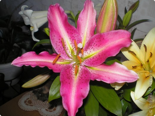 Стали отцветать постепенно лилии фото 11