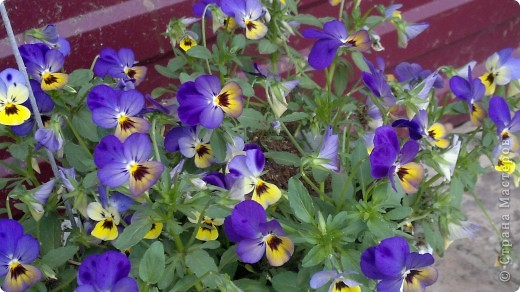 Здравствуйте, уважаемые мастерицы! Решила сделать маленький репортаж на своем участке. Хотелось запечатлить красту лета, ведь, по моему мнению, это самое прекрасное время года. Да здравтвует лето!!!! Это петуния с пчелками из пенопласта. фото 2