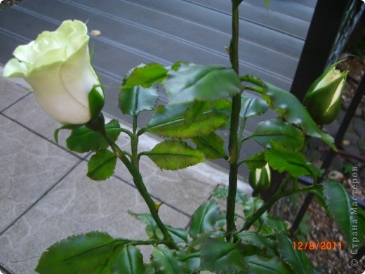 Вот решила замахнуться на розу.Цветок получился 60 см. фото 5