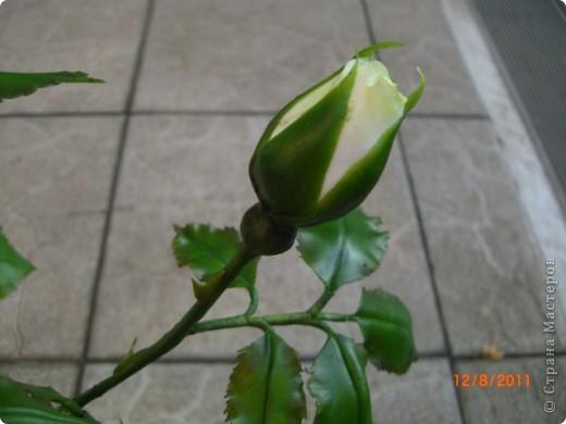 Вот решила замахнуться на розу.Цветок получился 60 см. фото 6