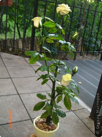 Вот решила замахнуться на розу.Цветок получился 60 см. фото 1