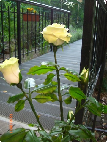 Вот решила замахнуться на розу.Цветок получился 60 см. фото 7