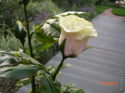 Вот решила замахнуться на розу.Цветок получился 60 см. фото 10