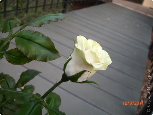 Вот решила замахнуться на розу.Цветок получился 60 см. фото 13