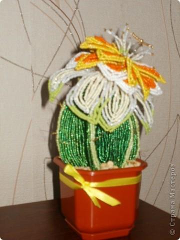 вечноцветущий кактус  фото 2