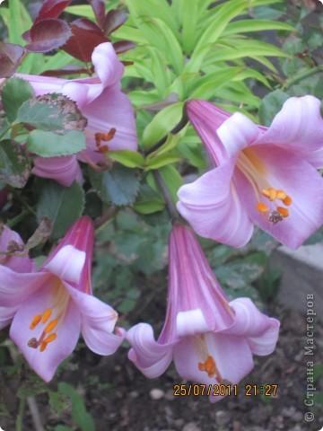 А вот лилии фото 1