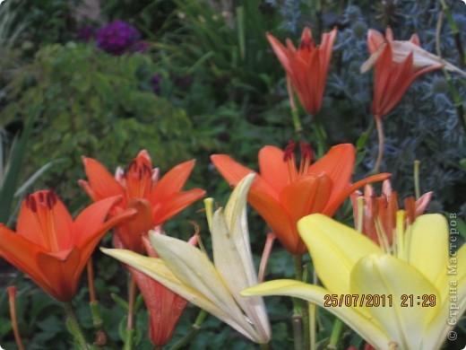 А вот лилии фото 4