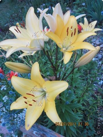 А вот лилии фото 5