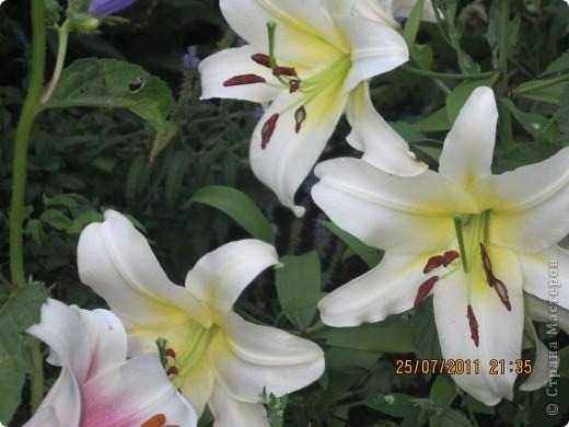 А вот лилии фото 10