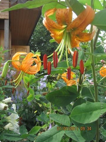 А вот лилии фото 12