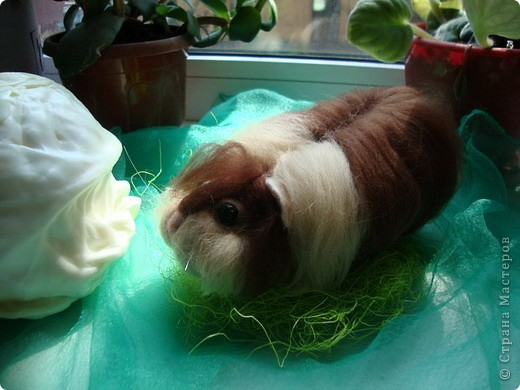 Как и любая свинка Жорик любит капусту. фото 1