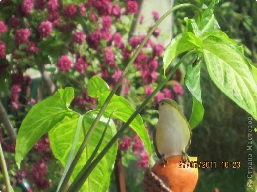 Этот арбузик - кормушка для птиц. фото 21