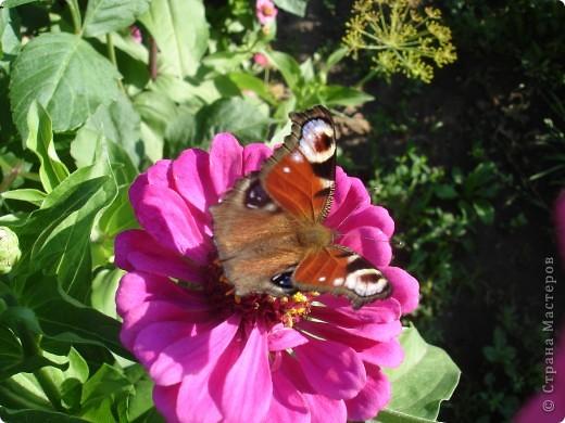 В этом году сидя в декретном отпуске, я решила найти себе хобби, которое приносило бы мне удовольствие. И эта моя коллекция бабочек. Всех бабочек которых поймал мой объектив я сфотографирывала в поселке на территории города. СОВЕТ: кто хочет у себя видеть не сметное количество бабочек, садите цветы Цинии. Дневной павлиний глаз их просто обожает. И другие бабочки прилетают. фото 14