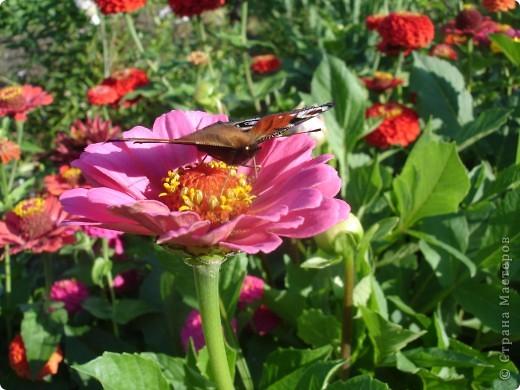 В этом году сидя в декретном отпуске, я решила найти себе хобби, которое приносило бы мне удовольствие. И эта моя коллекция бабочек. Всех бабочек которых поймал мой объектив я сфотографирывала в поселке на территории города. СОВЕТ: кто хочет у себя видеть не сметное количество бабочек, садите цветы Цинии. Дневной павлиний глаз их просто обожает. И другие бабочки прилетают. фото 13