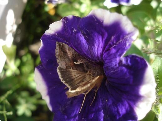В этом году сидя в декретном отпуске, я решила найти себе хобби, которое приносило бы мне удовольствие. И эта моя коллекция бабочек. Всех бабочек которых поймал мой объектив я сфотографирывала в поселке на территории города. СОВЕТ: кто хочет у себя видеть не сметное количество бабочек, садите цветы Цинии. Дневной павлиний глаз их просто обожает. И другие бабочки прилетают. фото 15