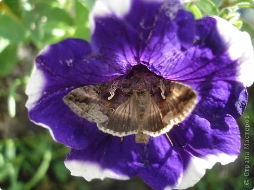 В этом году сидя в декретном отпуске, я решила найти себе хобби, которое приносило бы мне удовольствие. И эта моя коллекция бабочек. Всех бабочек которых поймал мой объектив я сфотографирывала в поселке на территории города. СОВЕТ: кто хочет у себя видеть не сметное количество бабочек, садите цветы Цинии. Дневной павлиний глаз их просто обожает. И другие бабочки прилетают. фото 16