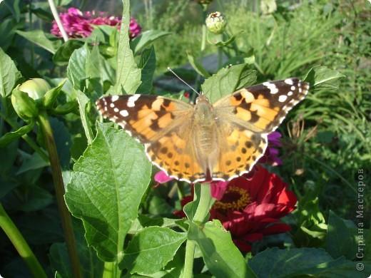 В этом году сидя в декретном отпуске, я решила найти себе хобби, которое приносило бы мне удовольствие. И эта моя коллекция бабочек. Всех бабочек которых поймал мой объектив я сфотографирывала в поселке на территории города. СОВЕТ: кто хочет у себя видеть не сметное количество бабочек, садите цветы Цинии. Дневной павлиний глаз их просто обожает. И другие бабочки прилетают. фото 2