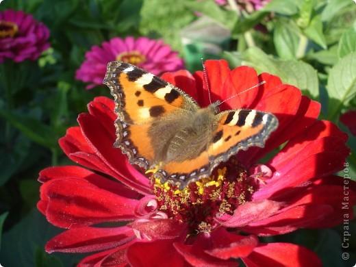 В этом году сидя в декретном отпуске, я решила найти себе хобби, которое приносило бы мне удовольствие. И эта моя коллекция бабочек. Всех бабочек которых поймал мой объектив я сфотографирывала в поселке на территории города. СОВЕТ: кто хочет у себя видеть не сметное количество бабочек, садите цветы Цинии. Дневной павлиний глаз их просто обожает. И другие бабочки прилетают. фото 17