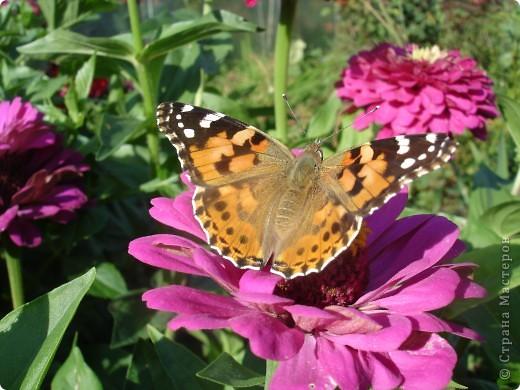 В этом году сидя в декретном отпуске, я решила найти себе хобби, которое приносило бы мне удовольствие. И эта моя коллекция бабочек. Всех бабочек которых поймал мой объектив я сфотографирывала в поселке на территории города. СОВЕТ: кто хочет у себя видеть не сметное количество бабочек, садите цветы Цинии. Дневной павлиний глаз их просто обожает. И другие бабочки прилетают. фото 4