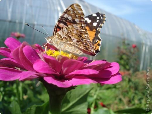 В этом году сидя в декретном отпуске, я решила найти себе хобби, которое приносило бы мне удовольствие. И эта моя коллекция бабочек. Всех бабочек которых поймал мой объектив я сфотографирывала в поселке на территории города. СОВЕТ: кто хочет у себя видеть не сметное количество бабочек, садите цветы Цинии. Дневной павлиний глаз их просто обожает. И другие бабочки прилетают. фото 3