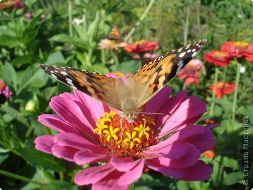 В этом году сидя в декретном отпуске, я решила найти себе хобби, которое приносило бы мне удовольствие. И эта моя коллекция бабочек. Всех бабочек которых поймал мой объектив я сфотографирывала в поселке на территории города. СОВЕТ: кто хочет у себя видеть не сметное количество бабочек, садите цветы Цинии. Дневной павлиний глаз их просто обожает. И другие бабочки прилетают. фото 5