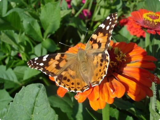В этом году сидя в декретном отпуске, я решила найти себе хобби, которое приносило бы мне удовольствие. И эта моя коллекция бабочек. Всех бабочек которых поймал мой объектив я сфотографирывала в поселке на территории города. СОВЕТ: кто хочет у себя видеть не сметное количество бабочек, садите цветы Цинии. Дневной павлиний глаз их просто обожает. И другие бабочки прилетают. фото 7