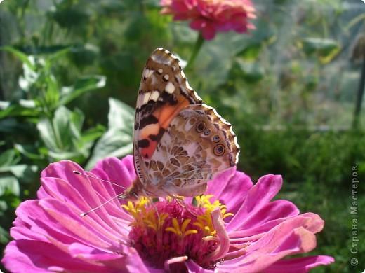 В этом году сидя в декретном отпуске, я решила найти себе хобби, которое приносило бы мне удовольствие. И эта моя коллекция бабочек. Всех бабочек которых поймал мой объектив я сфотографирывала в поселке на территории города. СОВЕТ: кто хочет у себя видеть не сметное количество бабочек, садите цветы Цинии. Дневной павлиний глаз их просто обожает. И другие бабочки прилетают. фото 6