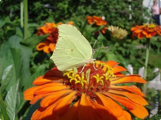 В этом году сидя в декретном отпуске, я решила найти себе хобби, которое приносило бы мне удовольствие. И эта моя коллекция бабочек. Всех бабочек которых поймал мой объектив я сфотографирывала в поселке на территории города. СОВЕТ: кто хочет у себя видеть не сметное количество бабочек, садите цветы Цинии. Дневной павлиний глаз их просто обожает. И другие бабочки прилетают. фото 9